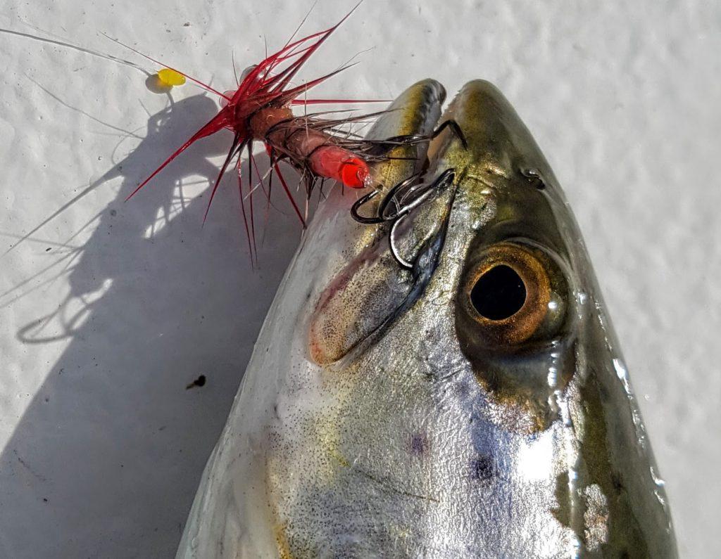 En sjøørret fanget med bruk av bombarda og L-rigg. Dette systemet er en revolusjon innen dette fisket.