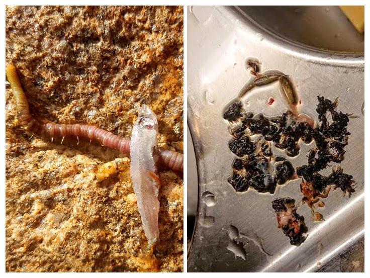 På høsten har sjøørreten en variert meny. Her har den spist maur. Man kan faktisk fiske sjøørret med tørrflue.