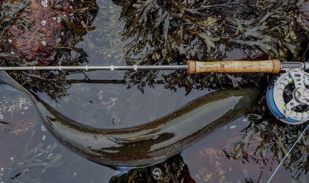 En virkelig flott sjøørret tatt på Hvaler. Det å fiske sjøørret med flue er min favoritt hobby.