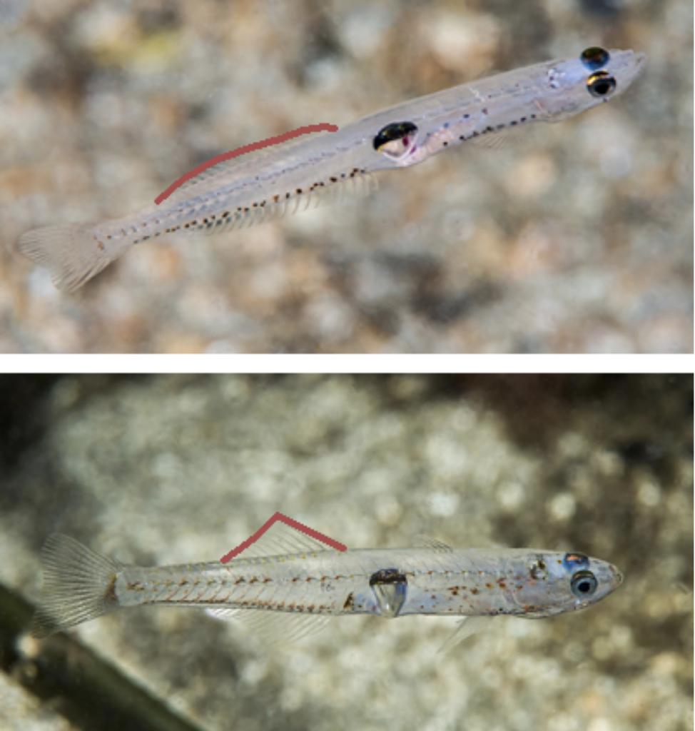 Glasskutling (Aphia minuta) har en kortere finne en krystallkutling (Crystallogobius linearis).
